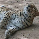 Leopardo dell'Amur disteso