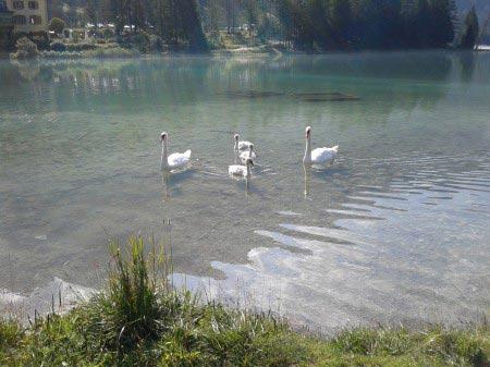 Quattro cigni nel lago