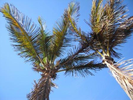 Due palme fotografate dal basso all'alto