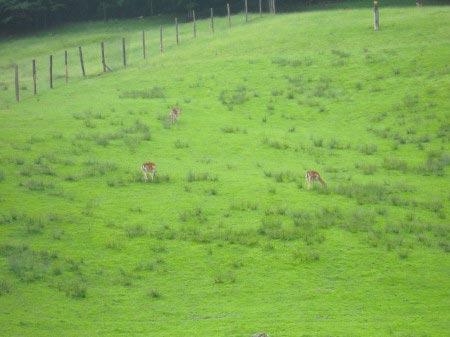 Cervi in Austria sull'erba